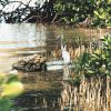 A Great Blue Heron waits patiently for dinner along a mangrove shoreline. Photo