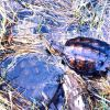 Young snapping turtles being released into the wild Photo