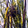 Bird nest, possibly built by a marsh wren, attached to marsh grass. Photo