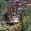 Box turtle. Photo