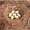 Mute swan eggs. Photo