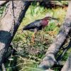 A little green heron (Butorides virescens ) Photo