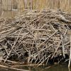 A small muskrat hut Photo