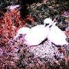 A species of booby nesting - adult with chick Photo