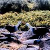 Waved albatross - Diomedea irrorata. Photo