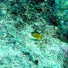 Longfin damselfish (Stegastes diencaeus) Photo