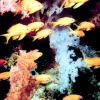 School of yellow fish in forest of soft coral Photo