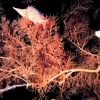 Longnose hawkfish (Oxycirrhites typus) Photo