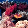 Red Sea anemone fish (Amphiprion bicinctus) Photo
