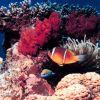 Red Sea anemone fish (Amphiprion bicinctus) Photo