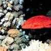 Miniatus grouper (Cephalopholis miniatus) Photo