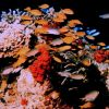 A melange of fish including orangeanthias (Pseudanthias squamipinnis) also known as lyretail. Photo