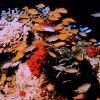 A melange of fish including orangeanthias (Pseudanthias squamipinnis) also known as lyretail. Photo