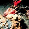 Red scorpionfish - Scorpeanopsis sp. Photo