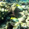 A pair of pencil-streaked rabbitfish (Siganus doliatus) Photo