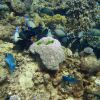 Two parrotfish and school of ringtail surgeonfish (Acanthurus blochii) Photo
