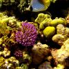 Coral reef scene with threadfin butterflyfish (Chaetodon auriga) Photo