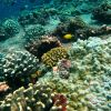 Golden damselfish (Amblyglyphidodon aureus) in beautiful undersea coral garden Photo