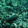 Orangespine unicornfish or naso tang Photo