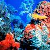 Spanish hogfish at reef. Photo