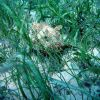 Spotted scorpionfish (Scorpaena plumieri) and manatee grass isoetifolium) Photo