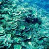 Cabbage coral with purple anthias Photo