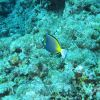 Japanese surgeonfish (Acanthurus japonicus) Photo