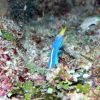Blue ribbon eel, male, (Rhinomuraena quaesita) Photo
