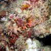 False stonefish (Scorpaenopsis diabolus) Photo