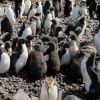 Royal Penguins & chicks. Photo