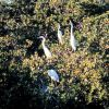 Great egret using mangrove trees as roosting site Photo