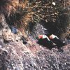 A pair of Tufted Puffins on a cliff Photo