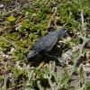 Dead turtle hatchling that made a wrong turn or was picked up and dropped by a bird Photo