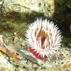 Fish eating sea anemone (Urticina piscivora) on boulder in rocky habitat at 64 meters depth Photo