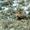A fox in the scrub grass of an Aleutian Island. Photo