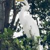 A Great Egret, Casmerodius albus, roosts in a tree. Photo