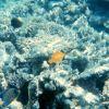 Forcipiger Longirostris in center and regal angelfish (Pygoplites diacanthus) Photo