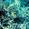Teardrop butterflyfish (Chaetodon unimaculatus) Photo