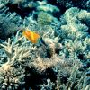 Foxface rabbitfish (Siganus vulpinus) and coral Photo