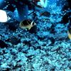 A lemon butterflyfish to the upper left and two raccoon butterflyfish Photo