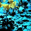 Beautiful assemblage of yellow tang and various butterfly fish and a few other reef fish. Photo