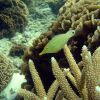 Longnose filefish (Oxymonacanthus longirostris) Photo