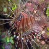 Spotfin lionfish (Pterois antennata). Photo