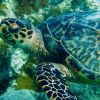 Adult hawksbill turtle. Photo