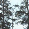 An eagle in a fir tree. Photo