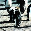 Tufted macaroni penguin among chinstrap penguins. Photo
