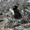 Double-crested cormorant nestling Photo