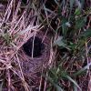 Dark-eyed Junco nest with nestlings Photo