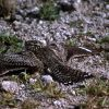 Common Nighthawk Photo