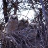 Three Great Horned Owl nestlings Photo